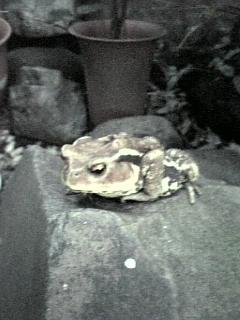 アズマヒキガエル