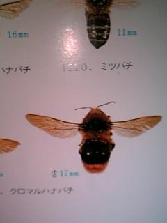 ミツバチ科