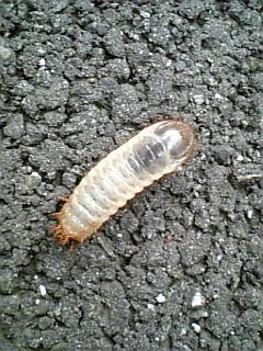 ハナムグリの幼虫にちがいない!