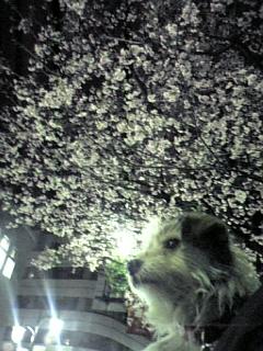 夜桜とフウチャン