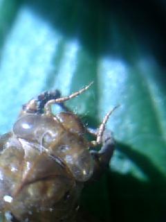 蝉のぬけ殻