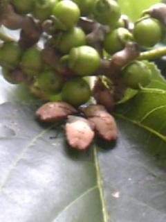 オオツノカメムシ