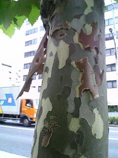 モミジバスズカケノキ