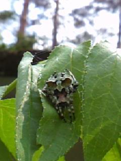 コケオニグモ